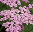 Achillea millefolium 'Lilac Beauty' (yarrow)