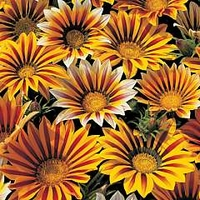 Gazania Tiger Stripes Mixed 84 plug plants