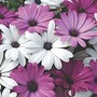 Osteospermum Hybrida Passion Mixed 16 garden-ready plants