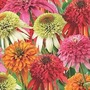 Echinacea Fruity Doubles Collection 4 plants in 7cm pots - 1 of each variety