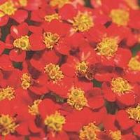 Achillea Millefolium 'Cerise Queen' 3 plants