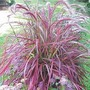 Pennisetum Setaceum &#x27;Fireworks&#x27; 2 jumbo plants + 1 free