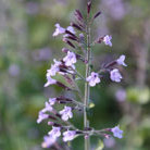 Calamintha nepeta subsp. nepeta 'Blue Cloud' (lesser catmint)