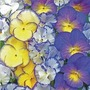 Viola Cottage Garden Mix 15 plants