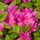 Rhododendron 'Fumiko' (evergreen azalea (syn. Geisha Purple))