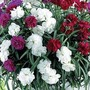 Dianthus Fontaine Mixed - Cascading 10 jumbo plants + free windowbox