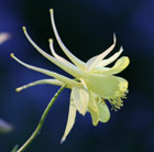 Aquilegia chrysantha 'Yellow Queen' (granny's bonnet)