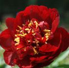 Paeonia 'Buckeye Belle' (paeony / peony)