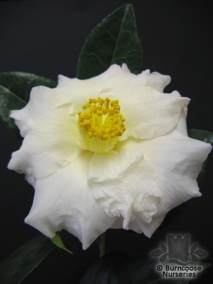 CAMELLIA 'Annette Gehry'