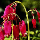 Dicentra 'Bacchanal' (bleeding heart)