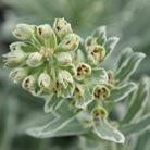 Euphorbia characias Silver Swan ('Wilcott') (PBR) (spurge)