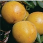 Apricot 'Golden Glow'  -  Fruit Tree