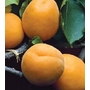 Apricot 'New Large Early' - Fruit Tree