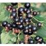 Blackcurrant 'Ben Lomond' - Soft Fruit