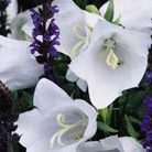 Campanula persicifolia var. alba (peach leaved bellflower)