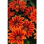 Gazania Kiss Flame 66 plants