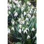 Snowdrops in the Green x 50 bulbs