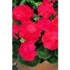 Geranium F1 Red x 66 plants