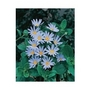 Felicia Blue (Marguerite Daisy) x 10 young plants