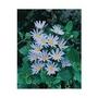 Felicia Blue (Marguerite Daisy) x 10 young plants