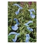 Salvia Patens Blue x 1 litre pot