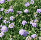 Scabiosa columbaria nana (pincushion flower)