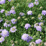 Scabiosa columbaria nana (pincushion flower)