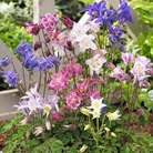 Aquilegia Biedermier Mix Seeds