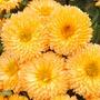 Calendula Apricot Pygmy Seeds