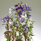 Campanula Cottage Garden Mix Seeds