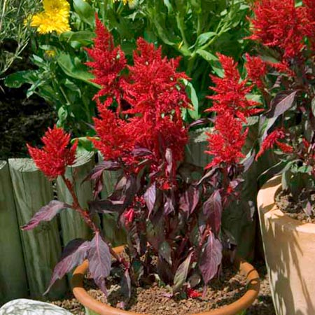 Celosia China Town Seeds