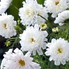 Cosmea White Knight Seeds