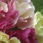 Eschscholzia Bridal Bouquet Seeds