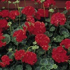 Geranium Vista Series Rose Seeds