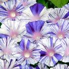 Ipomoea Venice Blue Seeds