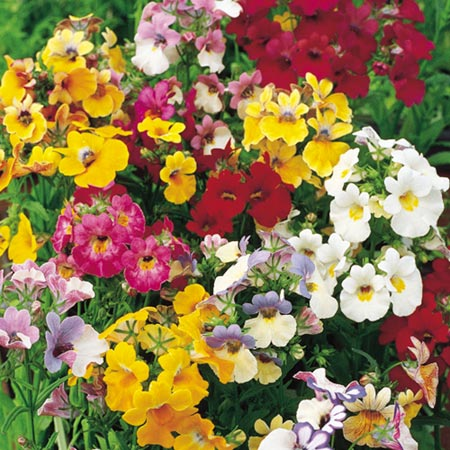 Nemesia Tapestry Mix Seeds