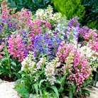 Penstemon Tiller Girls Mix Seeds