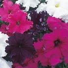 Petunia Grand Frillytunia Mix Seeds