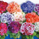Primula obconica F1 Tickle My Fancy Mix Seeds