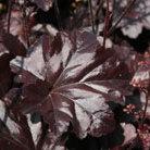 Heuchera  'Obsidian' (PBR) (coral bells)