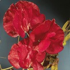 Sweet Pea Seeds - Winston Churchill
