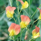 Sweet Pea Seeds - Goldmine