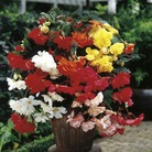 Begonia Trailing Sensation Plant Collection