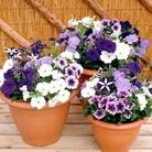 Petunia Plants - Grand Rapids