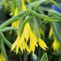 Uvularia grandiflora Plants