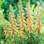 Digitalis Spice Island Plants