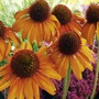 Echinacea Plant Collection