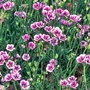 Gila Twilight Seeds