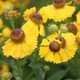 Helenium 'The Bishop' (sneezeweed)