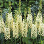 Eremurus 'White Beauty Favourite (PBR)' (foxtail lily bulbs)